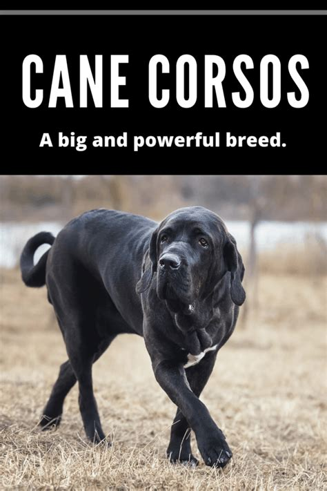 How Big Do Cane Corsos Get? Learn More About this Breed